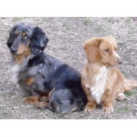 Dachshund breeder Franklin 18057