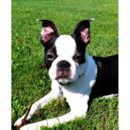 Whispering Pines Kennel Boston Terrier Breeder In Carmel Maine