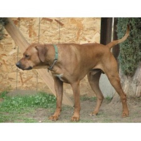 Pumaridge Rhodesian Ridgebacks Rhodesian Ridgeback Breeder In Hemet California