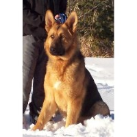 Silvermist Registered German Shepherds