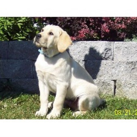 Labrador Retriever breeder Fort Kent 18161