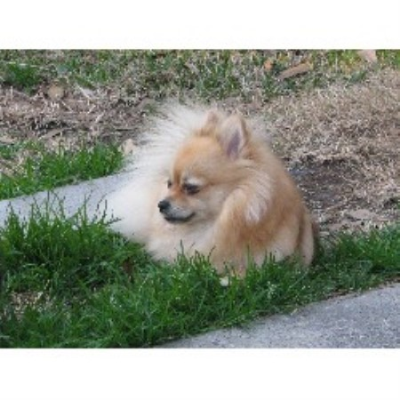 Pomeranian breeder in Conroe, Texas