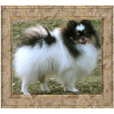 Pomeranian breedering kennel in Conroe