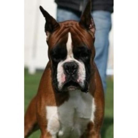 Boxer Breeder