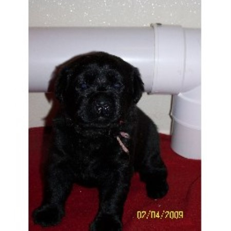 Dogs in Rochester New York - Puppies and Dogs for Sale