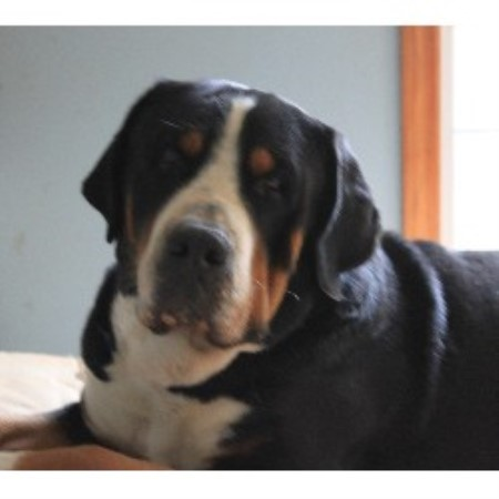 Greater Swiss Mountain Dog Stud Service