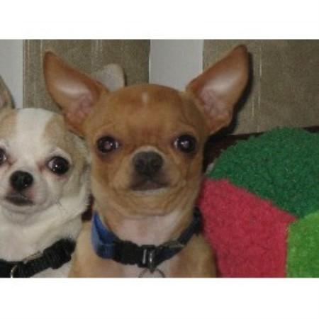 Chihuahua breeders in Oregon | FreeDogListings