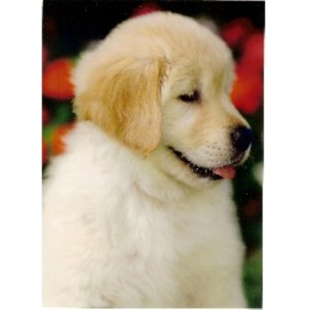 Eveningstar Kennels Golden Retriever Breeder In Aguanga California