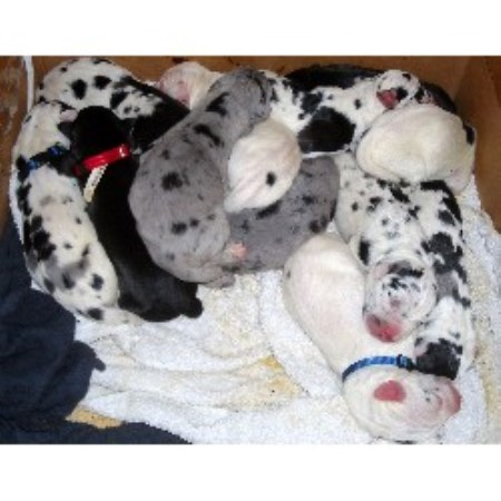 Heart Of Danes Great Dane Breeder In North Richland Hills Texas