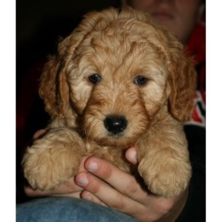 Brian's Cuddly Companions, Goldendoodle Breeder in Holly