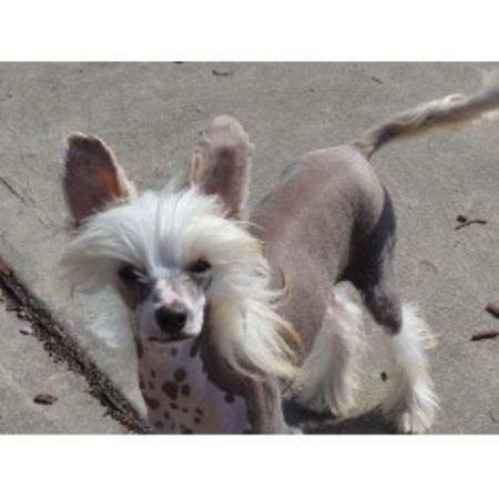 Six Gems, Chinese Crested Breeder in Butler, Pennsylvania