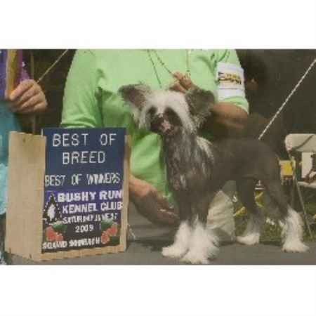Chinese Crested breeder in Butler, Pennsylvania