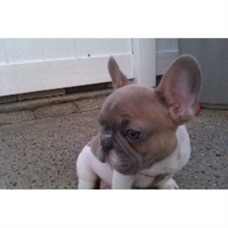 french bulldog rescue wi frenchie connection french bulldog breeder in staten 9033