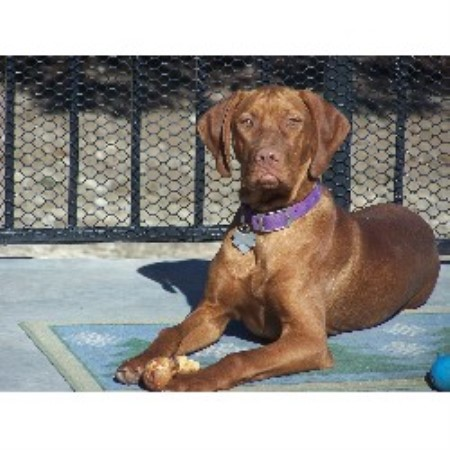 Vizsla breeder in Texa...