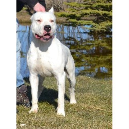 Dogo Argentino Breeders in the USA and Canada ...