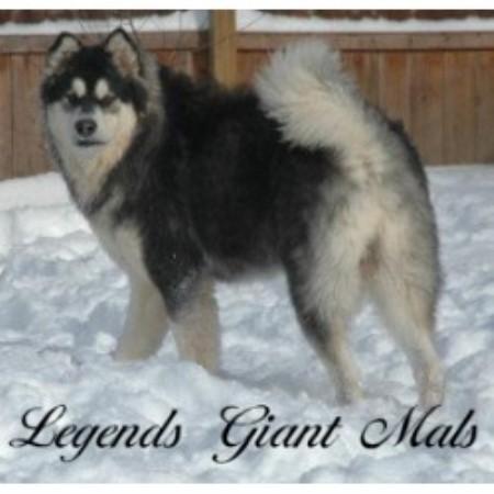 Legends Giant Mals Alaskan Malamute Breeder In Rochester New York