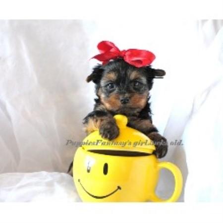 in texas freedoglistings yorkshire terrier breeders yorkie breeding