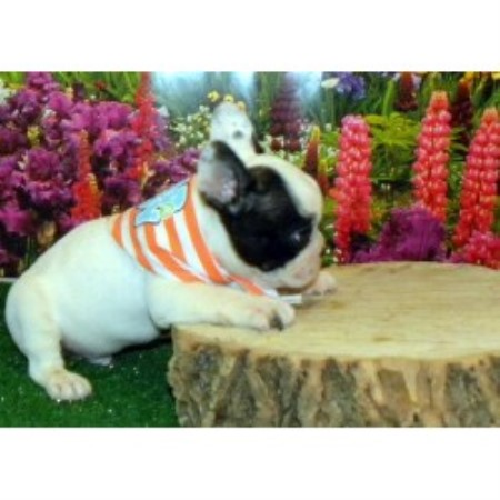 French Bulldog breeder in Limestone , Tennessee