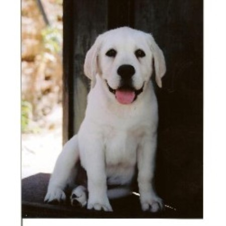 Shelby's White Labradors, Labrador Retriever Breeder in