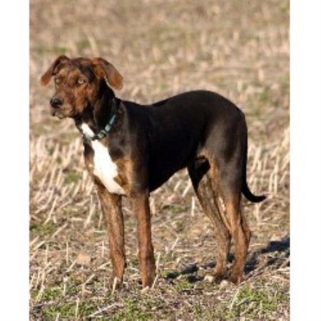 Louisiana Catahoula Leopard Dog breeder in Michigan