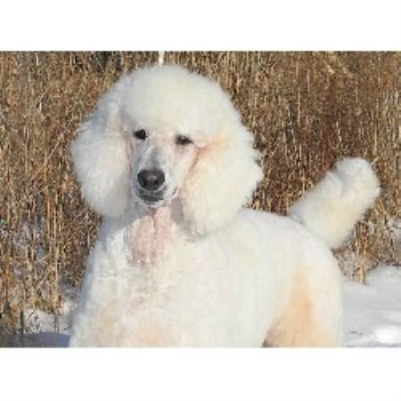 Jacknic Poodle Standard Breeder In Otisville Michigan