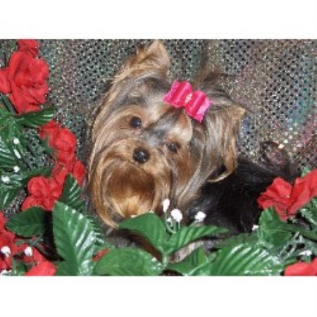 Yorkshire Terrier breeder Bennington 18527