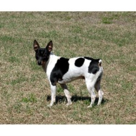 Rat Terrier breeder in Parrish, Florida