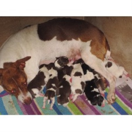 Rat Terrier breeder in Parrish
