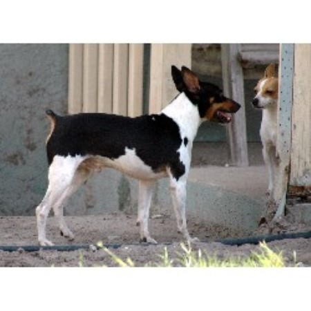 Rat Terrier breeder in Florida