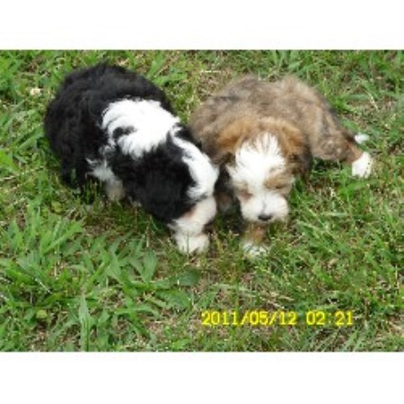 Chinese Crested Breeders In Arkansas Freedoglistings