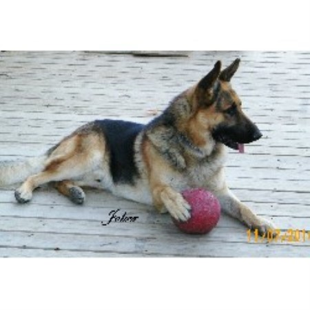 German Shepherd Dog breeder in Coldwater