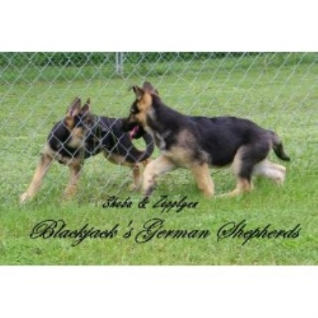 German Shepherd Dog breeder in Mississippi
