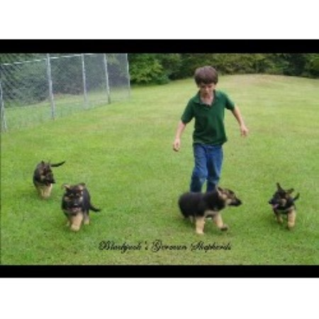 German Shepherd Dog breedering kennel in Coldwater