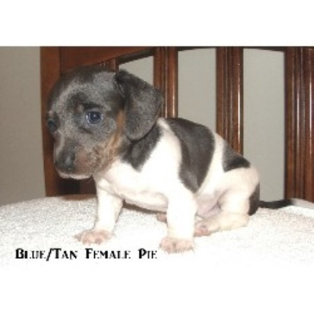 Dachshund breeder French Lick 18580