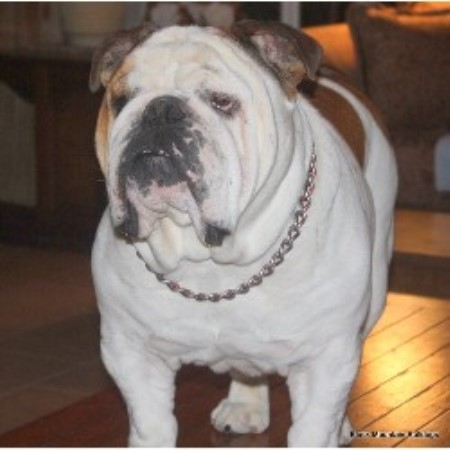 Black Mountain Bulldogs English Bulldog Breeder In San Francisco California