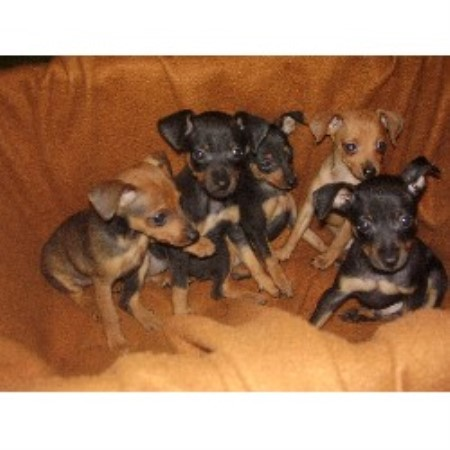 Miniature Pinscher Breeder 18656