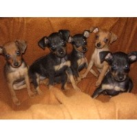Miniature Pinscher Breeders in Pennsylvania | FreeDogListings  German Pinscher For Sale In Pa