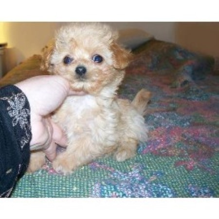Maltese Breeders in California | FreeDogListings
