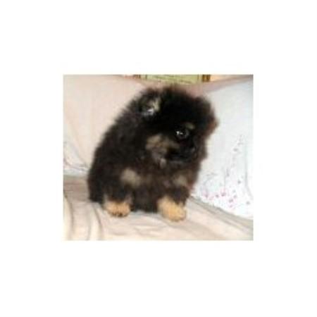 Pomworldcacom Pomeranian Breeder In Vallejo California
