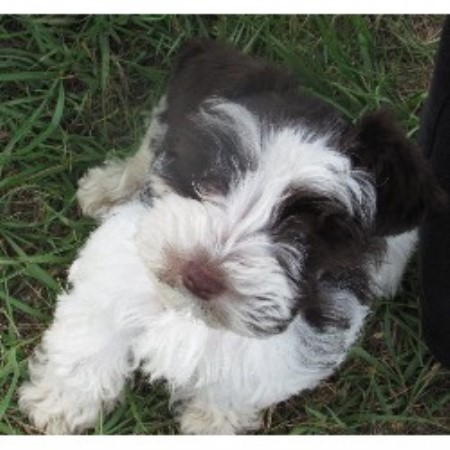 Bee Creek Kennel, Miniature Schnauzer Breeder