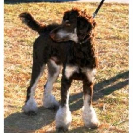 Dittos Standard Poodles, Poodle Standard Breeder in Salt Lake City ...