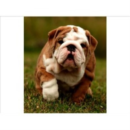 Purebull Reg D English Bulldog Breeder In Stirling Ontario