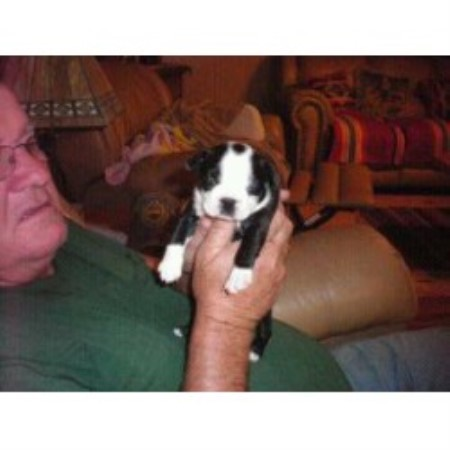 Debra Cork Boston Terrier Breeder In Mesa Arizona