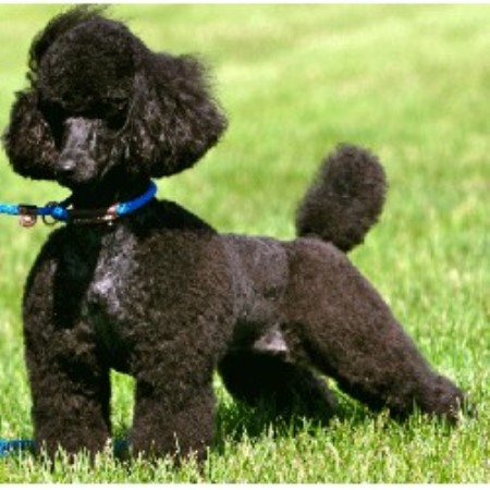 Poodle Miniature Breeders and Kennels | FreeDogListings Page: 2
