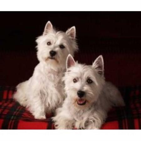 mn-west-highland-terrier-resue html in marielladanielsen github com