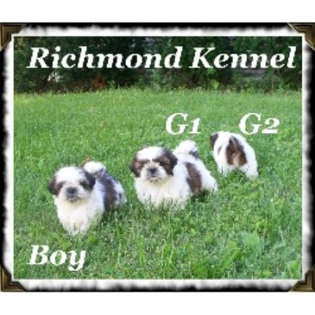 Richmond Kennel Shih Tzu Breeder In London Ohio