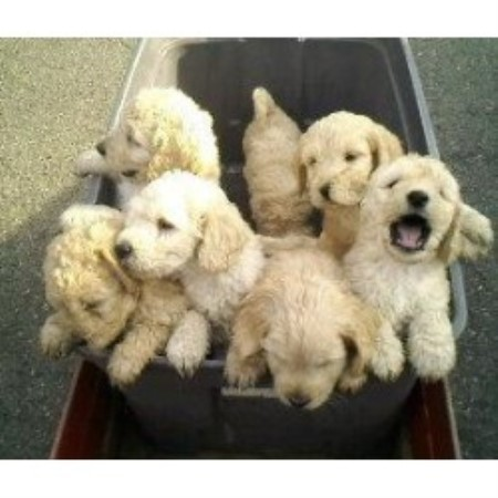 Cha Cha Doodles Goldendoodle Breeder In Columbia New Jersey