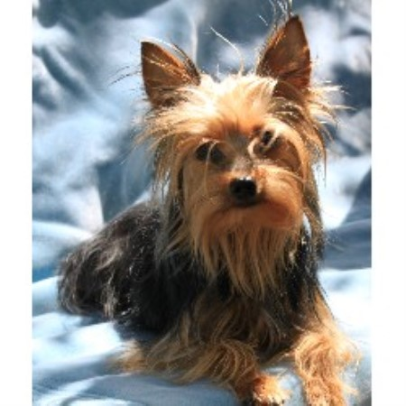 Myy Precious Paws, Yorkshire Terrier Breeder in Loudon