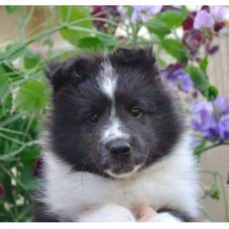 Shetland Sheepdog Sheltie Breeders In Oregon