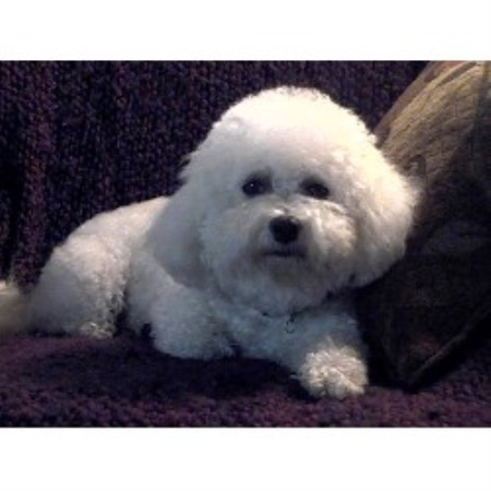 Bichon Frise Puppies for Sale in Oregon